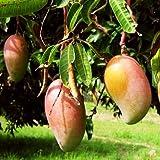 #8: Live plant - Mango Totapuri/Ginimoothi/Bangalora/Kallamai/Kili Mooku/Gilli/Sandersha/Thevadiyamuthi (6-8 inch height) healthy live plant