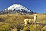 Posterlounge Forex-Platte 120 x 80 cm: Alpaca at The Foot of The Parinacota Volcano Near Chungara Lake, Chile. von Age fotostock/Mauritius Images