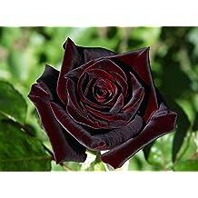 Amazonit La Rosa Nera
