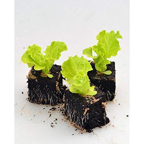 Gemüsepflanzen - Lollo Salat - Lactuca sativa var. crispa - Asteraceae - 6 Pflanzen