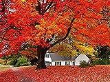 50 PC-amerikanische Rote Ahornsamen Ahorn-Samen Zier Bonsai Samen für Home Garden Pflanz Leicht Seltene Baumsamen Schwarz wachsen