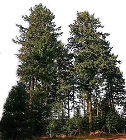 1000 Samen Gewöhnliche Douglasie (Pseudotsuga menziesii) *Größtes Exemplar war 133 Meter hoch*