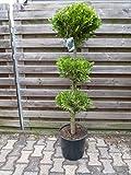 Scheinzypresse 160 cm 3er Kugel - Chamaecyparis lawsoniana `Stardust` - Zypresse