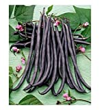 VEGETABLE FRENCH CLIMBING BEAN A COSSE VIOLETTE 125 SEEDS