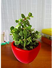 Rolling Nature Good Luck Jade Plant in Red Heart Ceramic Po