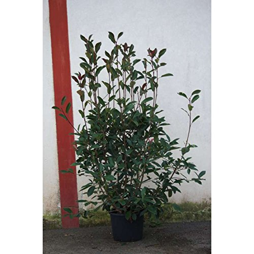 photinia-red-robin-c-3-litres-fleur-blanche