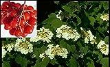 Gemeiner Schneeball - Viburnum opulus - Gewöhnlicher Schneeball - Duft+ Preis nach Größe 60-100 cm