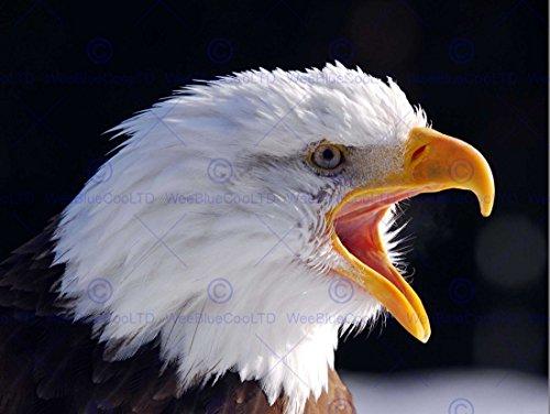 Wee Blue Coo Prints 12 X 16 INCH / 30 X 40 CMS AMERICAN BALD EAGLE BIRD CLOSE UP PHOTO FINE ART PRINT POSTER HOME DECOR PICTURE Amerika Adler Vogel Schließen FOTO Kunstdruck Zuhause Deko Bild