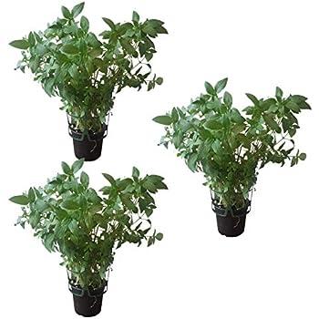 Thai Basilikum โหระพา BAi Horapa Kr/äuter Pflanze 3stk.