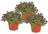 Calllisa ('Schönpolster') Futterpflanze für Nager, Vögel, Schildkröten und Reptilien (3)