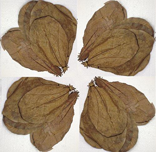 sungrow-100-feuilles-damandier-catappa-indien-pour-bassin-de-poissons