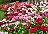 Gänseblümchen - Bellis Pomponette Mix - Bellis perennis - Blume - 400 Samen