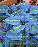 Shopmeeko 100 Stk. Bonsai-Weihnachtsstern-Pflanze, Euphorbia Pulcherrima, seltene Blütenpflanzen-Pflanze, Balkon Topfpflanzen: 12