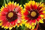 Blanketflower comune, gaillardia comune - semi