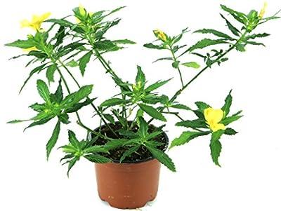 Damiana Pflanze, Heilpflanze aus Nachhaltigem Anbau ! von Weseler Kräuterparadies bei Du und dein Garten