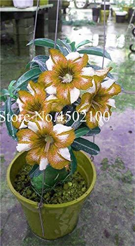 Pinkdose Vero 2 Pz Adenium Obesum Bonsai Esotico Deserto Rosa Bonsai Fiori In Vaso Balcone Multi-Color Petali Piante grasse Semi di piante: 5