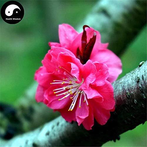 PLAT FIRM KEIM SEEDS: 30pcs: Kaufen Winter Süße ume Baumsamen Pflanze Rot Plum Blossom La Mei