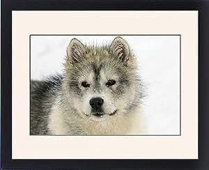 Tableau encadré des Arctic/chien Husky-gros plan de visage