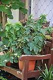 Lowberry® Brombeere Little Black Prince® - 5 lt. Topf, gut durchwurzelte Pflanzen
