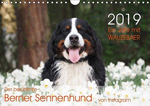 Ein Jahr mit WAUZEBAER - Der berühmte Berner Sennenhund von Instagram (Wandkalender 2019 DIN A4 quer): Fotokalender eines Berner Sennenhundes (Monatskalender, 14 Seiten ) (CALVENDO Tiere)