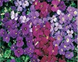 JustSeed - Blume - Rock Cress - Griechisches Blaukissen (Aubrieta deltoidea) - Royal Gemischt - 7500 Samen