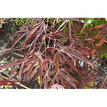 Acer palmatum /'Orangeola/' 19cm Pot Size