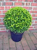 Buchsbaum Kugel, Durchmesser: 35-40 cm, Buxus