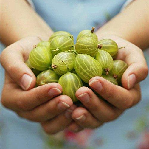 200 pcs / sac graines de fruits sucrés Mini Fruit Graines de fleurs graines bonsaï plantes alimentaires non-OGM pour le jardin de la maison 1