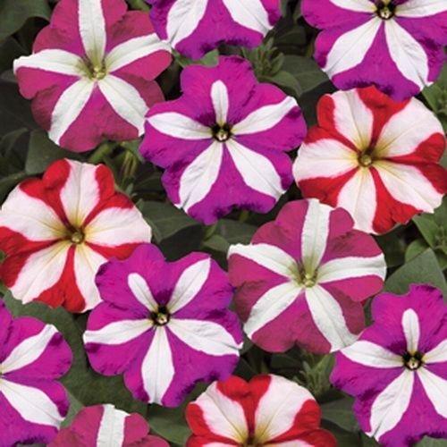 petunia-star-mix-bedding-plants-12-garden-ready-plants