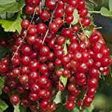 Red Currant bush plant Jonkheer van Tets JVT Ribes rubrum fruit shrub bare rooted FREE DELIVERY