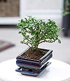 BALDUR-Garten Bonsai Carmona Fukientee mit Schale, 1 Pflanze Zimmer Bonsai