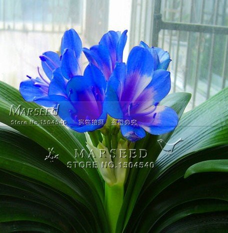 1 Pz Splendida Clivia semi di fiori (Kaffir Lily), fiori in camera semenatsvety, bello, rari semi veri, garantito il 1 Blu Clivia semi