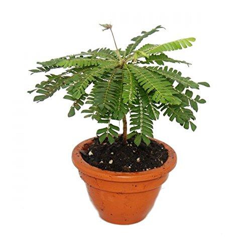 Biophytum sensitivum - Südseepalme - 9cm Tontopf - Die Pflanze die sich bewegt - Ideal für Kinder - Mini-Palme