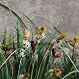 5Seed/Bag Carex Seed Carex Pendula Fresh...