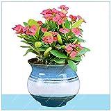 IDEA HIGH Seeds-ZLKING 200 stücke Euphorbia Milii Neue Seltene Hochzeit Blume Pflanzen Für Hausgarten Sehr Einfach Wachsen