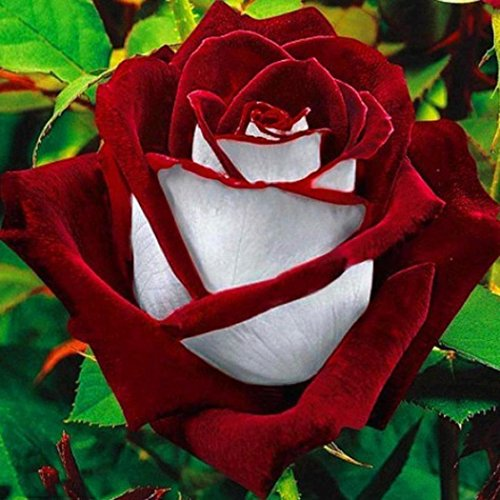 Rose Balkon und