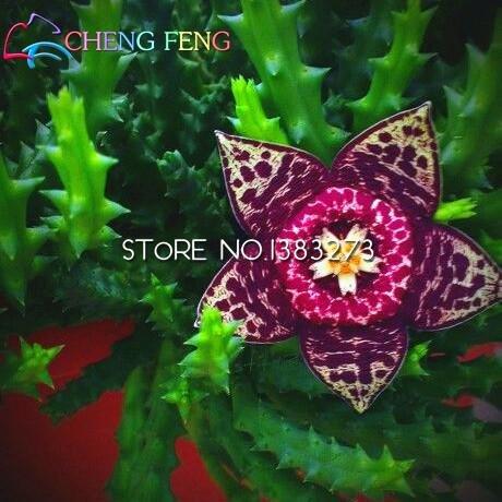 Newsbenessere.com 51oeiRkwjsL 100pcs Stapelia Semi Lithops Mix Succulente Pietra Grezza Cactus Semi rari piante fresche Bonsai per la casa e giardino di fiori vasi di piante