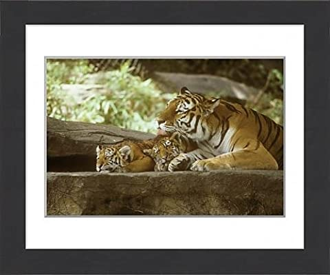 Framed Print of Siberian Tigers, Mother and cubs