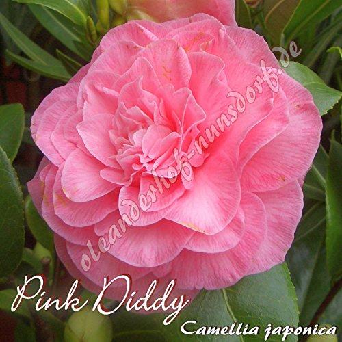 kamelie-pink-diddy-camellia-japonica-preisgruppe4