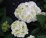 Bauernhortensie The Bride® - Endless Summer - Ballhortensie - Hydrangea macrophylla The Bride®