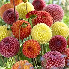 Floral Treasure Dahlia Pom Pom Flower Seeds - Scarlet Red Color for Home, Kitchen & Balcony Garden