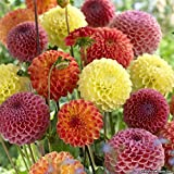 #5: Floral Treasure Dahlia Pom Pom Flower Seeds - Scarlet Red Color for Home, Kitchen & Balcony Garden