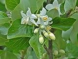 Portal Cool Styrax Officinalis - Semi Storax albero