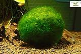 Mooskugel - Aegagrophila linnaei 3 bis 10 für gute Wasserqualität und glückliche Garnelen im Aquarium, Größe:3 - 6 cm