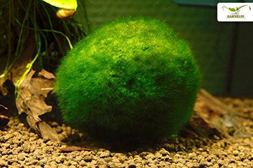 Garnelio Mooskugel / Moosball 3 bis 10 für gute Wasserqualität und glückliche Garnelen im Aquarium, Größe:6 - 10 cm