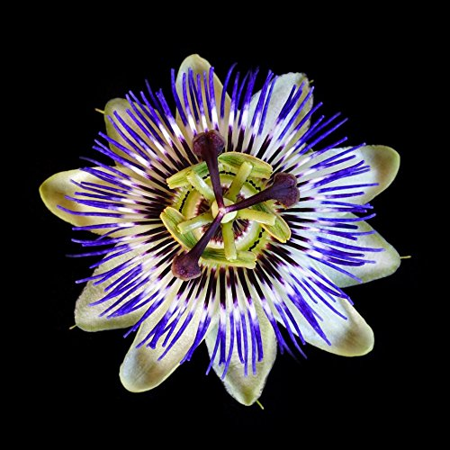 Passionsblume caerulea - Passiflora caerulea - Samen
