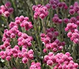 100 PINK pussytoes SEEDS - Antennaria