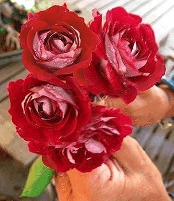 BALDUR-Garten Beet-Rosen 'Osiria®', 1 Pflanze von Baldur-Garten bei Du und dein Garten