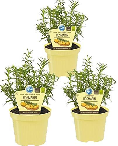 Bio Rosmarin (Rosmarinus officinalis), Kräuter Pflanzen aus nachhaltigem Anbau, (3 Pflanzen im Set)