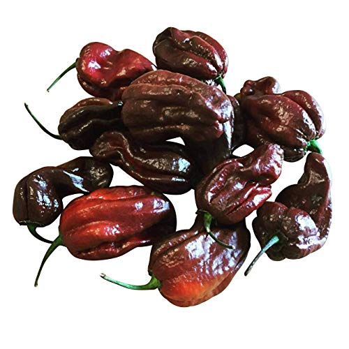 Habanero Chokolate >Chili Ultrascharf< Samen 10 Stk